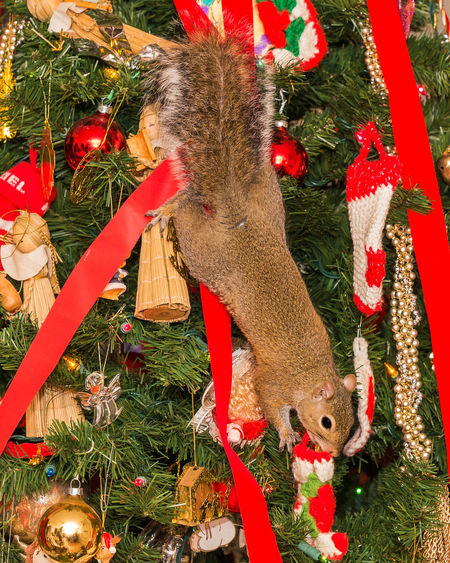 Animal Themes Animal Wildlife Celebration Christmas Christmas Christmas Decoration Christmas Lights Christmas Ornament Christmas Time Christmas Tree Christmastime Close-up Day Indoors  Mammal No People Nut Pecan Red Ribbon Squirrel Stocking  Tradition Tree