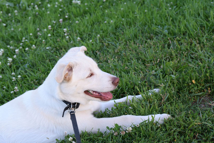 Animal Head  Day Dog Domestic Animals Field Grass Grassy Mammal Nature No People Outdoors Pets Resting White Color Color Palatte Color Pallete