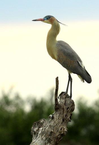Atizba Animal Themes Animal Wildlife Bird Chiflon Copete Nature Outdoors Patas Largas