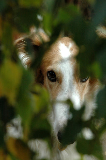 Face portrait of a borzoi , partly hidden in vegetation. Animal Themes Bauty Borzoi Close-up Day Dog Domestic Animals Looking At Camera Mammal Nature No People Noble One Animal Outdoors Partly Hidden Pets Portrait Tree
