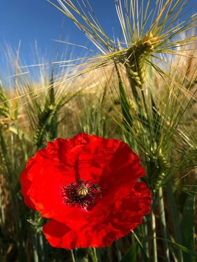 On my Walk with Lansi ❤️ Growth Nature Insect Animals In The Wild Petal Beauty In Nature One Animal Animal Themes Red Plant Flower Head Day Bee No People Outdoors Animal Wildlife Fragility Close-up Freshness Poppy Nofilter Soest