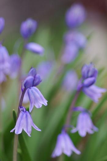 Scilla Hispanica 釣鐘水仙 Flower Head Flower Purple Close-up