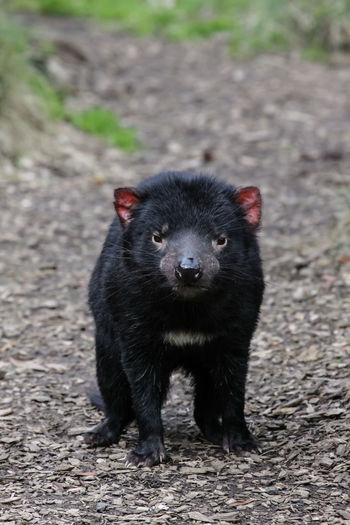 Portrait of tasmanian devil on land