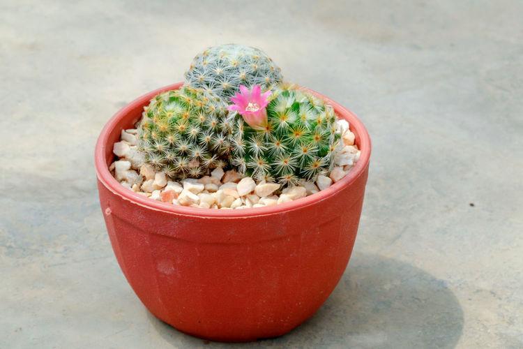 Mamillaria plumos cactus Cactus Cactus Flower Cactuslover Mammillaria Mammillaria Plumosa Decoration Houseplants Of EyeEm Houseplant Flower Growth Plant