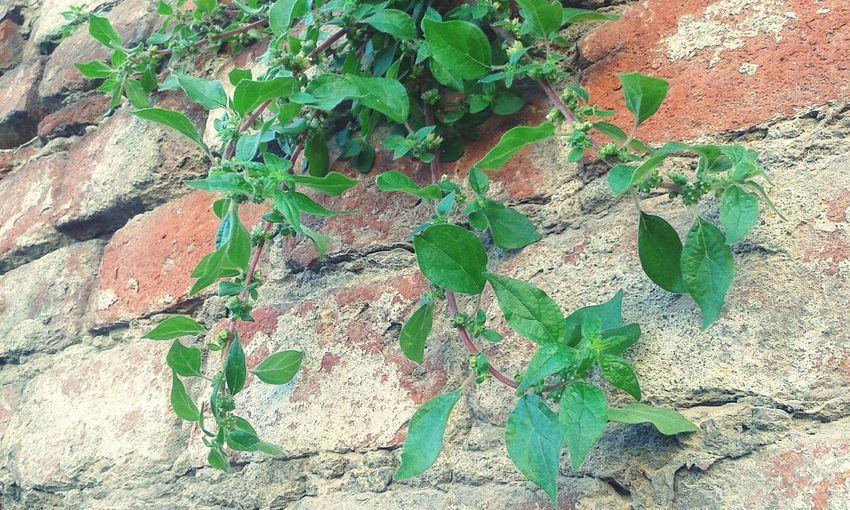 Burn Burns Burnside  Leaves Leaves🌿 Edera Plant Plant Part Plant Burn Green Green Leaves Eyem Eyem Gallery EyEm Selects Eyemphotography Eyem4photography Muro  Pianta Rampicante Leaf Backgrounds Full Frame Close-up Plant