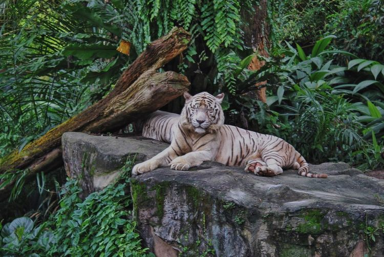White tigers lying on rock amidst plants at zoo