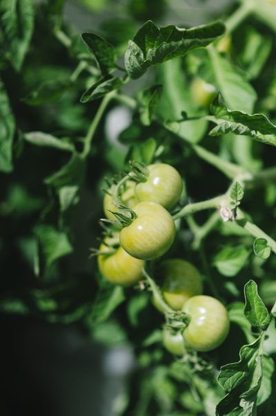 unripe green tomatoes Gardening Growing Agriculture Beauty In Nature Close-up Day Food Freshness Fruit Garden Green Color Green Tomatoes Growth Healthy Eating Leaf Nature No People Organic Outdoors Plant Plant Part Selective Focus Tomatoes Unripe Vegetable