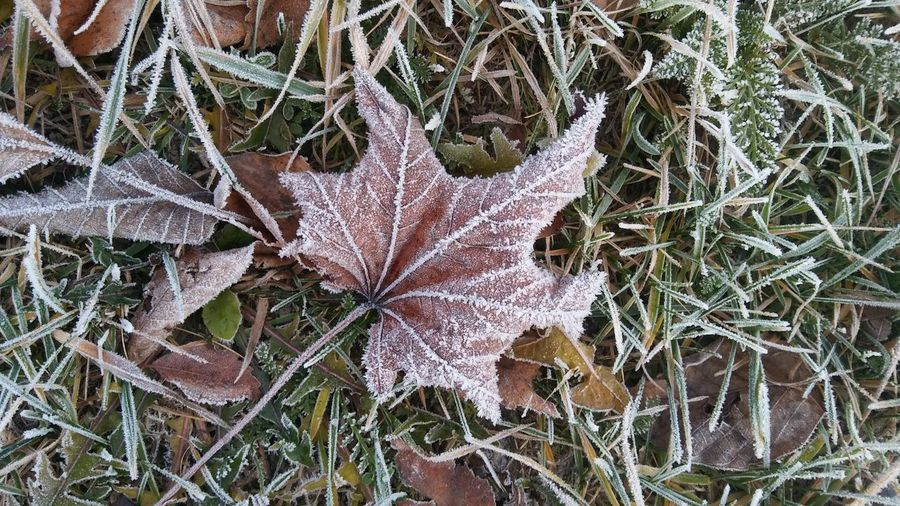 Close-up of dry maple leaves on snow covered land