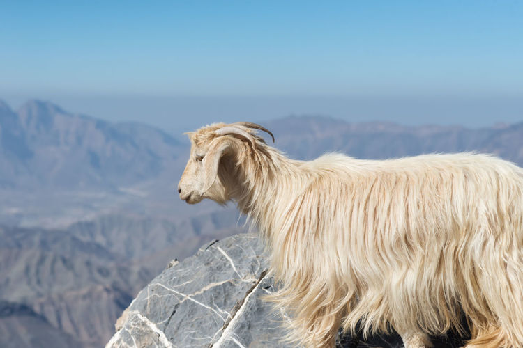 Side view of goat on mountain against sky