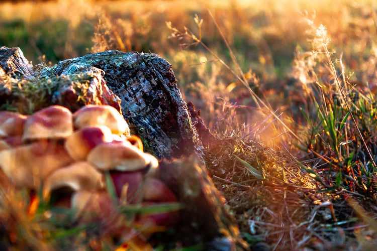 Close-up of tree stump by mushrooms on land during sunset