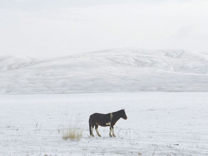Cold Temperature Snow Winter Weather Nature Animal Themes One Animal Mammal Domestic Animals Field Beauty In Nature Landscape Livestock Covering Outdoors No People Mountain Day Scenics Snowing Minimalism Horse