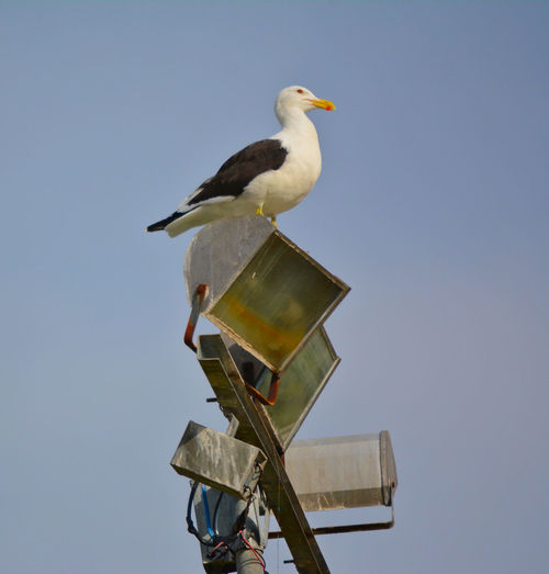 Low angle view of seagull perching on halogen light against clear sky