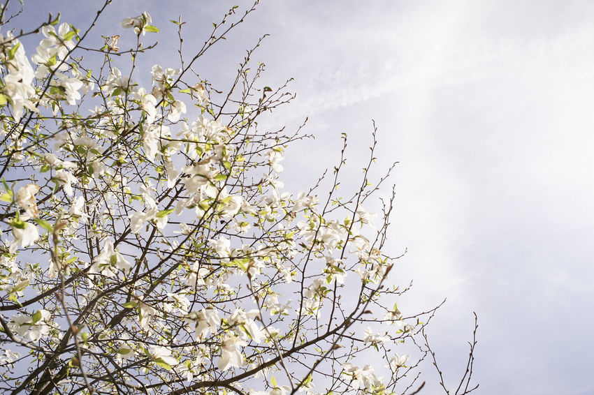 Beauty In Nature Blooming Blossom Branch Cherry Blossom Cloud - Sky Day Flower Flowering Plant Fragility Freshness Growth Low Angle View Nature No People Outdoors Plant Sky Spring Springtime Tranquility Tree Vulnerability