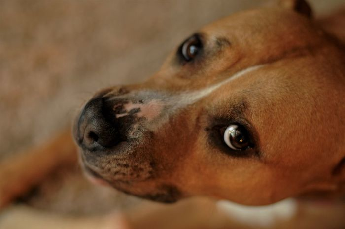 Animal Body Part Animal Head  Animal Nose Animal Themes Brown Close-up Dog Domestic Animals Focus On Foreground Mammal Pets Portrait Rednose Pitbull Selective Focus