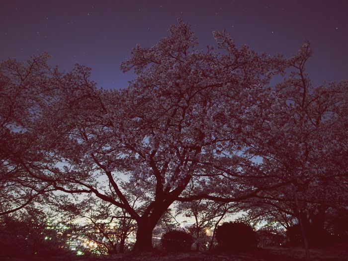 Cherry Blossoms Nightphotography Landscape