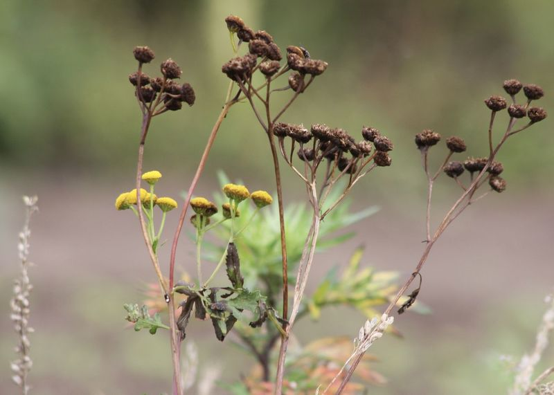 change of season; drying tansy wildflower Wildflower Beauty In Nature Blooming Brown Change Close-up Countryside Drying Fall Flower Flower Head Focus On Foreground Fragility Freshness Growth Landscape Leaf Nature Outdoors Plant Season  Stem Tansy Thistle Yellow