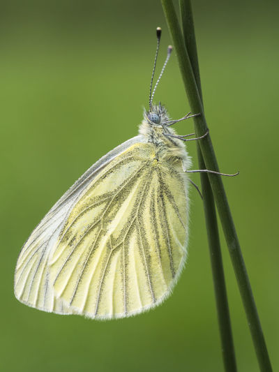 Macro Photography Animal Animal Antenna Animal Themes Animal Wildlife Animal Wing Animals In The Wild Beauty In Nature Butterfly Butterfly - Insect Close-up Falter Focus On Foreground Freigestellt Grashalm Insect Meadow Nature No People One Animal Pieris Napi Summer Tagfalter