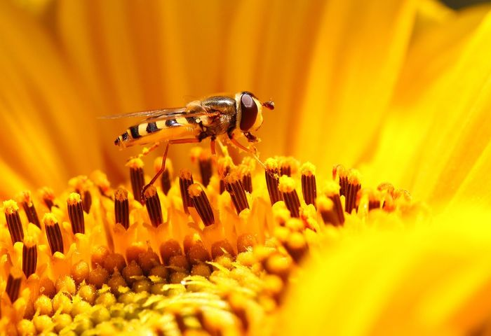 On the sunflower Animal Animal Themes Animal Wildlife Animals In The Wild Beauty In Nature Bee Close-up Flower Flower Head Flowering Plant Fragility Freshness Growth Hoverfly On Flower Insect Invertebrate No People Petal Plant Pollen Pollination Selective Focus Small Yellow