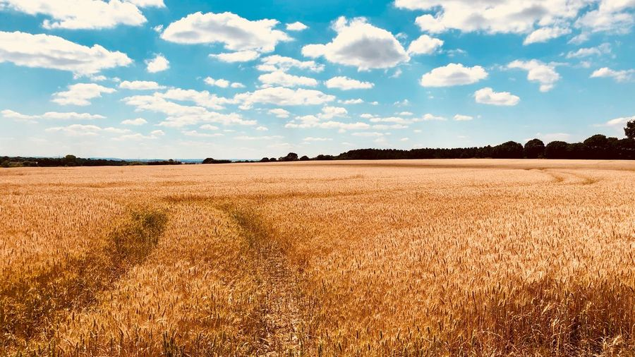 Wheat Field Wheat Tractor Tracks Yorkshire West Yorkshire Sky Land Cloud - Sky Landscape Field Environment Scenics - Nature Tranquility Beauty In Nature Tranquil Scene Agriculture Plant Nature Rural Scene Day Growth No People Farm Sunlight Outdoors
