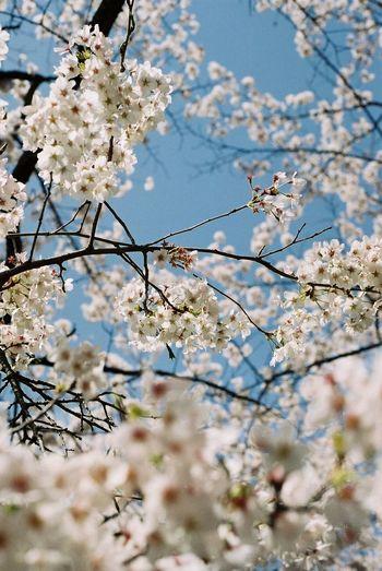 茶屋沼の櫻。 茶屋沼 Chaya Swamp サクラ Sakura Canon Ftb Film Photography