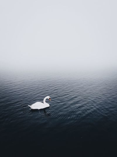 EyeEm Selects EyeEm Gallery EyeEmBestPics EyeEm Best Shots Foggy Foggy Day Fog Moody Swan Water Sea Beauty In Nature Tranquility Nature Copy Space Waterfront Day Cold Temperature Floating On Water