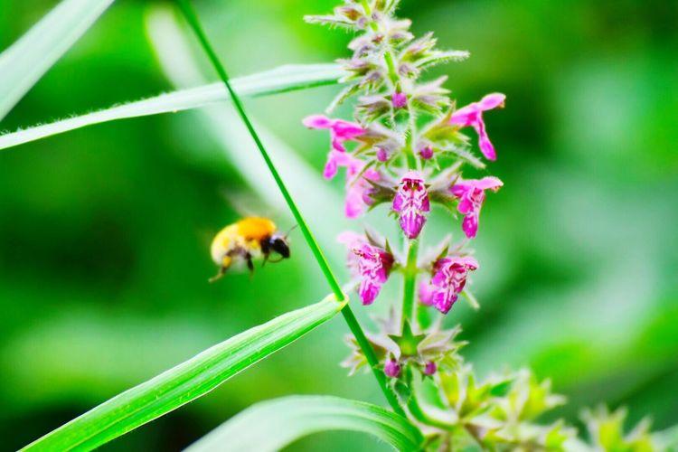 Nikon d5500 55-200 Abeilles Butinage Fleurs Nature Vert Flower Outdoors Beauty In Nature Animal Tranquility