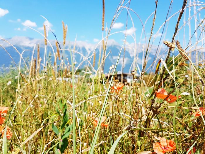 somer Farm Farmland Sun Austria EyeEm Gallery EyeEm Selects Tirol  Nature Mobilephotography Mobile Phone Mobilephoto Grass Popy Flpwer Somar Sky Close-up Grass Plant Poppy Flower Head In Bloom
