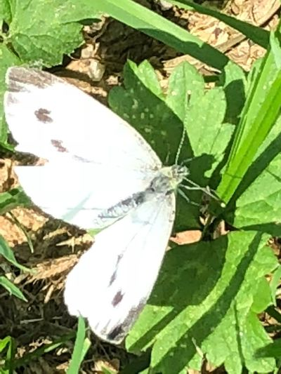 White butterfly 🦋 Butterfly💓 Eye😍 Leaf Plant Part Green Color Plant No People Close-up Nature Day Growth High Angle View Beauty In Nature Outdoors Full Frame Insect Animal Sunlight Animal Themes Invertebrate One Animal White Color