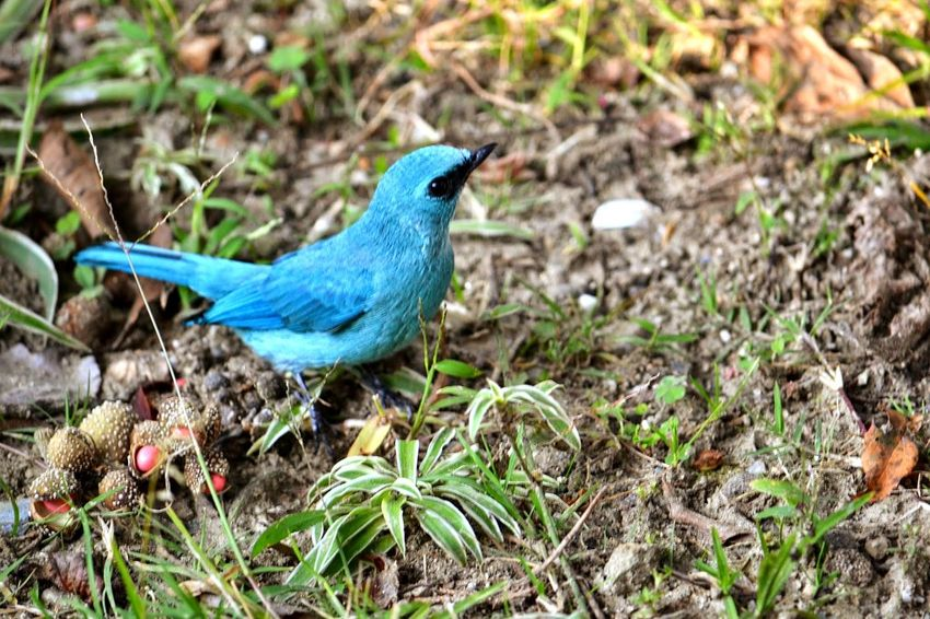 Bird Photography Birds Of EyeEm  Birdwatching Thrush Bird Incredibleindia Bird Perching Blue Animal Themes Close-up Grass The Great Outdoors - 2018 EyeEm Awards The Traveler - 2018 EyeEm Awards