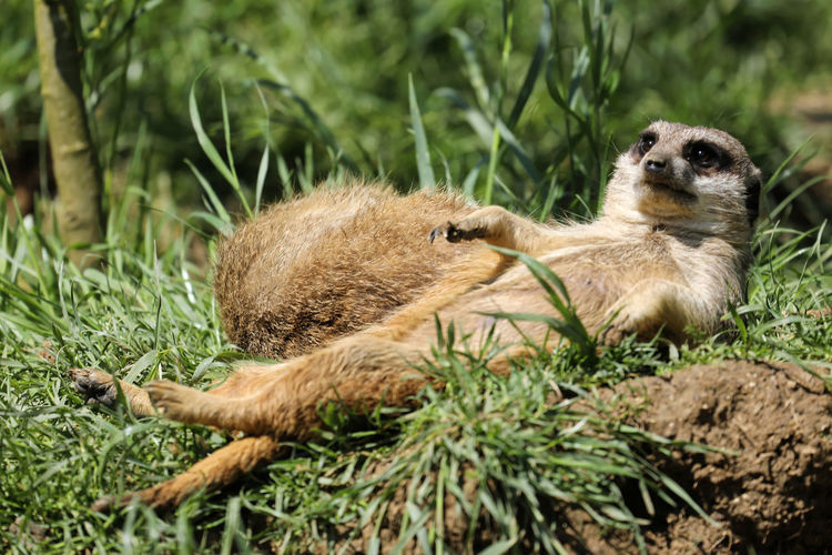 A couple of meerkats taking a nap in the sun