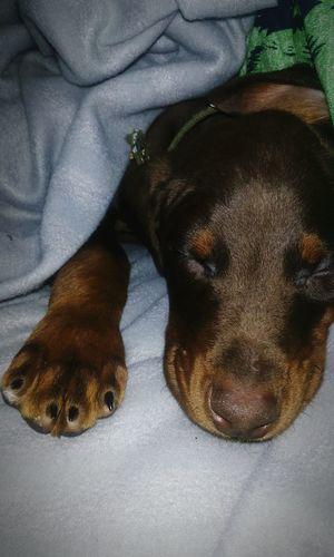 Pets Animal Themes One Animal Dog Dogs Of EyeEm Doberman  Puppy