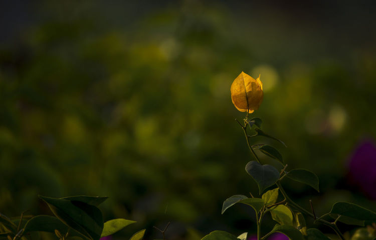 Flower can spread fragrance as well as beauty Paint The Town Yellow Beauty In Nature Blooming Close-up Flora Floral Photography Flower Focus On Foreground Fragility Freshness Leaf Nature No People Outdoors Plant Yellow