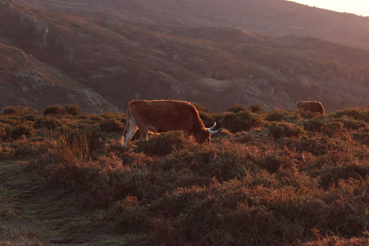 Cow grazing on grassy mountain at sunset