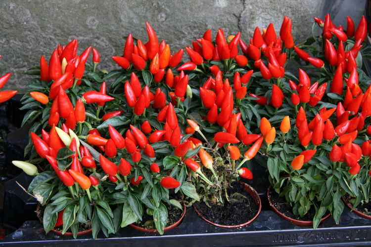 High angle view of red chili peppers on plant