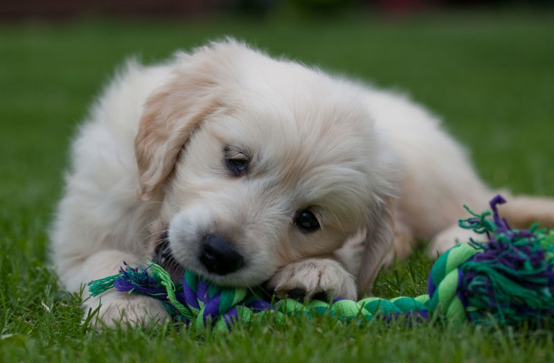 Close-up portrait of puppy relaxing on grass