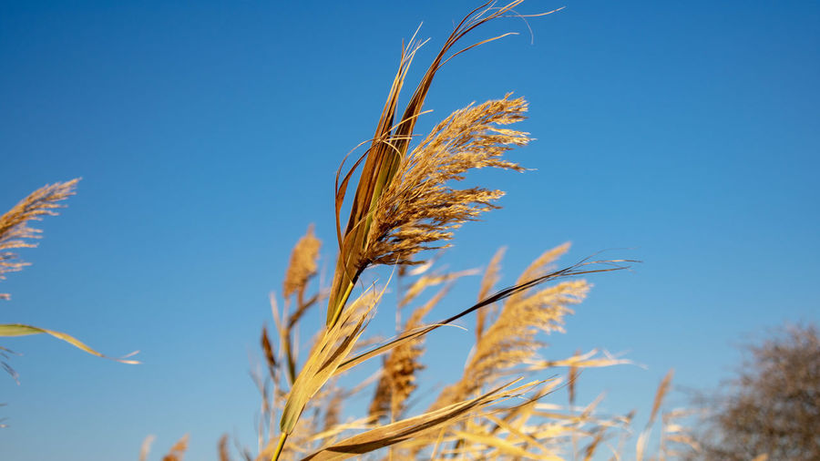 Grains EyEmNewHere Capture Tomorrow Rye - Grain Wheat Cereal Plant Rural Scene Blue Agriculture Biology Clear Sky Wholegrain Summer Oat - Crop Oat Flake Corn - Crop Corn On The Cob Crop  Corn Sweetcorn Barley Ear Of Wheat Stalk Poppy Farmland Straw Cultivated Combine Harvester Cultivated Land