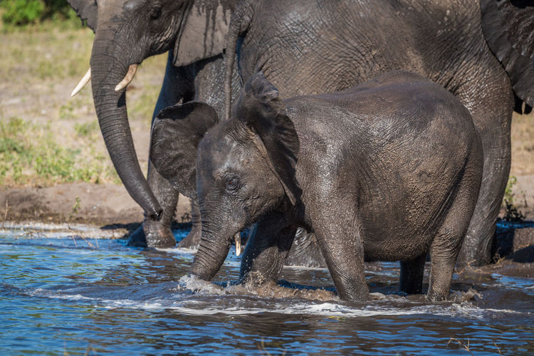 Elephant family drinking at waterhole in forest