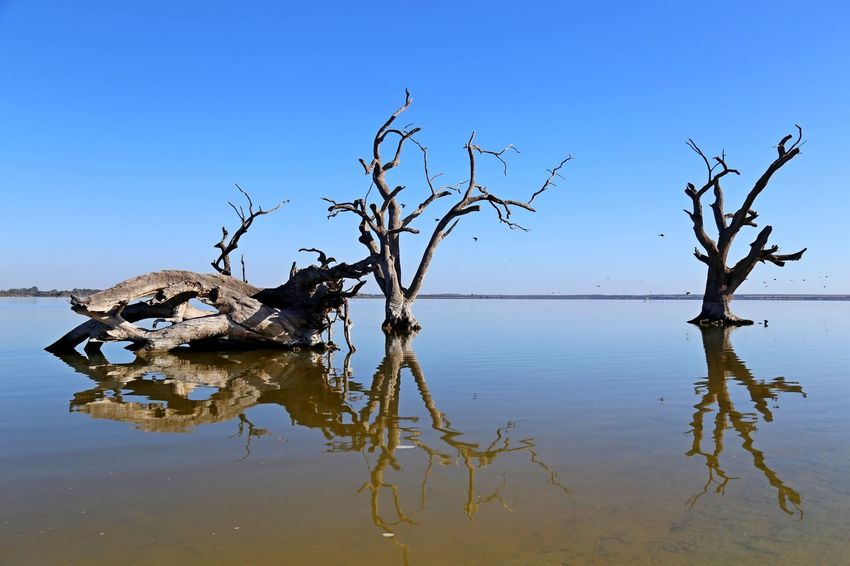 Lake Bonney, Riverland South Australia: reflections Bare Tree Beauty In Nature Branch Clear Sky Day Dead Plant Dead Tree Lake Lake Bonney Landscape Nature No People Outdoors Reflection Scenics Sky Tranquil Scene Tranquility Tree Water