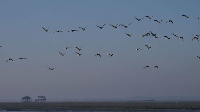 Oies Sauvages sur fond de Cabanes Tchanquées Flying Flock Of Birds Bird Large Group Of Animals Animal Wildlife Animals In The Wild Scenics Sea Bassin D'Arcachon Nature Photography Nature_collection Gooses Goose Landscape Bassin D Arcachon Skyporn Beauty In Nature Nature Animal Themes Animals In The Wild Île Aux Oiseaux No Filter Bird Migration