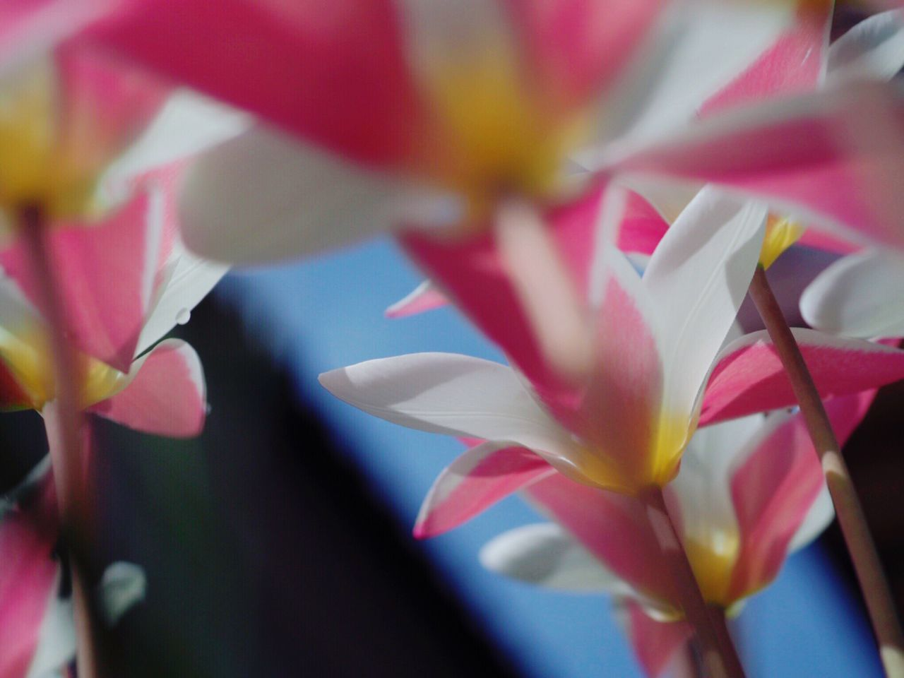 flower, petal, beauty in nature, fragility, nature, growth, freshness, no people, close-up, flower head, blooming, day, outdoors, frangipani