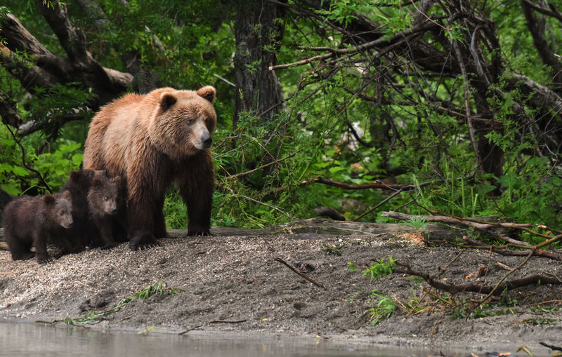 Bears at forest
