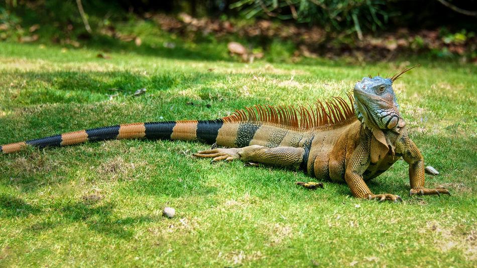 #greenturningtoorangef #iguana #inthesun Animal Themes Day Grass Nature No People One Animal Outdoors Reptile Weapon