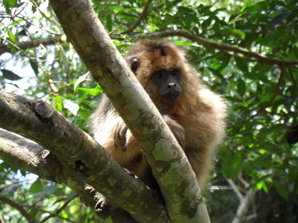 Wonderful wildlife, thoughtful monkey 🐒 🙂 Animal In Nature Animal Themes Animals In The Wild Baboon Brasil Day Jungle Animal Mammal Monkey Nature No People One Animal Outdoors Tropical Climate Monkey On Tree South America Pet Portraits