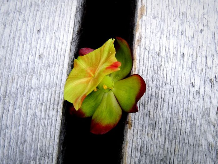 Close-up of rose on wood