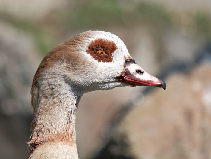 Animal Body Part Animal Eye Animal Themes Animal Wildlife Animals In The Wild Beak Bird Close-up Day Distrustful Duck Focus On Foreground Greylag Goose Mischievous Nature No People One Animal Outdoors Live For The Story Pet Portraits