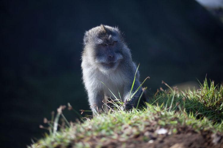 Monkey grabbing grass