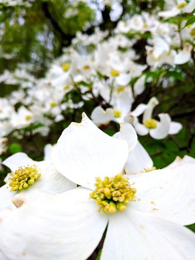 Flowers Beautiful Beauty In Nature Flower Head Flower Cold Temperature White Color Petal Close-up Apple Blossom In Bloom Fruit Tree Apple Tree Orchard Blossom Stamen Cherry Blossom Botany Springtime Plant Life Cherry Tree Pollen