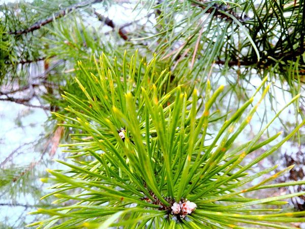 Nature Growth Needle - Plant Part Pine Tree Green Color Plant Pinaceae Tree Outdoors Close-up Flower Day No People Winter Beauty In Nature Branch Needle Fragility Freshness Perspectives On Nature