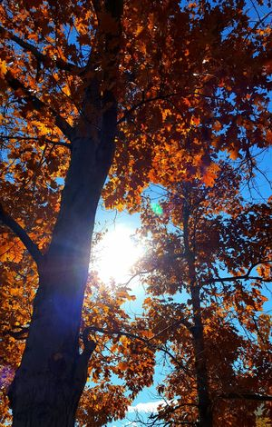 Tree Sky Nature No People Outdoors Close-up Sunbeam Low Angle View Beauty In Nature Illuminated Day Tree Nature Autumn Leaves Autumn Beauty In Nature