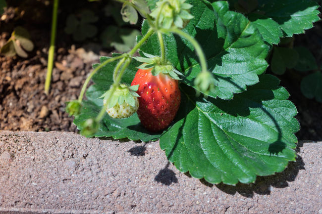 strawberry Erdbeerpflanze Beauty In Nature Close-up Day Erdbeeren Focus On Foreground Food Food And Drink Freshness Fruit Green Color Growth Healthy Eating High Angle View Leaf Nature No People Outdoors Plant Plant Part Red Ripe Strawberry Strawberrys Wellbeing